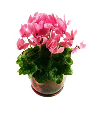Buy Cyclamen Plant Online